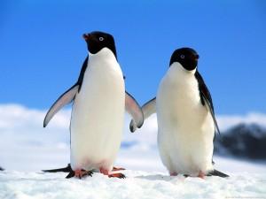 Companions_adelie_penguins