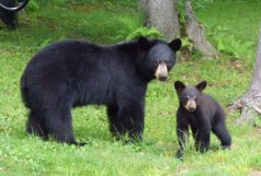 Black Bear with a cub